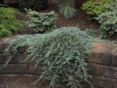 Juniperus horizontalis Icee Blue® / Monber®