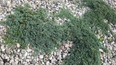Juniperus horizontalis Monber®