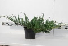 Juniperus horizontalis Variegata 4 года