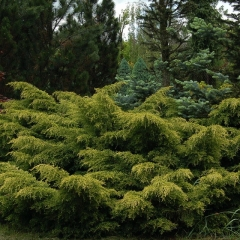 Можжевельник средний Голдкиссен / Голд Киссен <br>Ялівець середній Голдкіссен / Голд Кіссен <br>Juniperus pfitzeriana Goldkissen / Gold Kissen