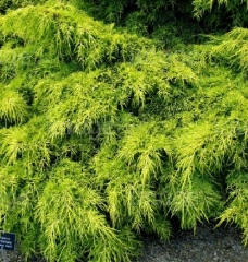 Juniperus рfitzeriana Carbery Gold
