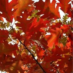 Осенняя окраска Дуба красного.