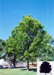Дуб красный / Дуб червоний / Quercus rubra