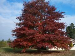 Дуб красный / Quercus rubra