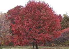 Дуб червоний / Quercus rubra