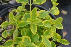 Бересклет Форчуна Канадейл Голд / Euonymus fortunei Canadale Gold