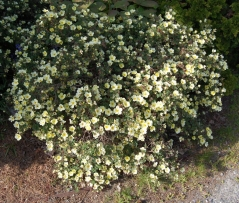 Лапчатка кустарниковая Примроуз Бьюти <br>Лапчатка кущова Прімроуз Б'юті<br>Potentilla fruticosa Primrose Beauty