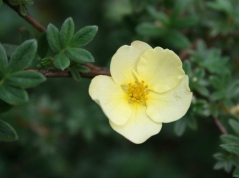Лапчатка Примроуз Бьюти / Potentilla Primrose Beauty