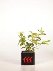 Viburnum plicatum Nanum Semperflorens 2 года