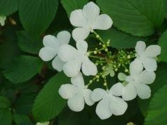 Калина Nanum Semperflorens цветение