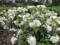 Rosa polyantha White Fairy