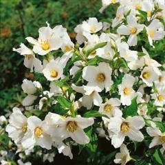 Жасмин Belle Etoile цветение