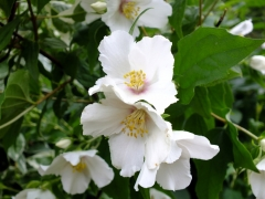 Чубушник гибридный Бель Этуаль цветы