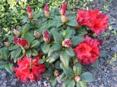 Рододендрон красный