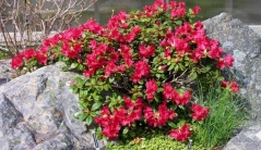 Рододендрон садовый фото