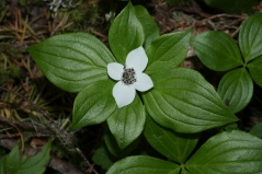 Cornus canadensis (Chamaepericlymenum canadense)