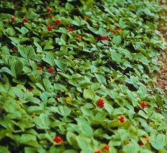 Cornus canadensis (Cornella canadensis)