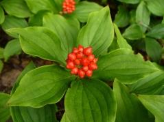 Дерен (Кизил) канадский плодоносит яркими, красными ягодами
