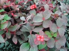 Cornus canadensis (Chamaepericlymenum canadense) осеннее изменение окраски листвы