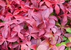 Кизил (Дерен) канадский осенью частично окрашиваютлистья в оранжево-красный