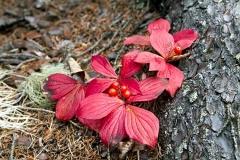 Cornus canadensis осенью