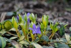 Во время цветения цветоносные стебли Барвинка Иллюминейшн ® слегка выпрямляются и приподымаются на высоту до 20см