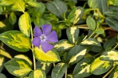 Барвінок Іллюмінейшн ® цветы