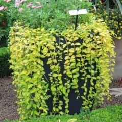 Барвинок малый Кэхилл ® в вазе в композиции с другими растениями