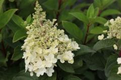 Hydrangea paniculata Rensun ®