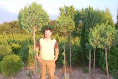 Кипарисовик горохоплодный Плюмоза на штамбе