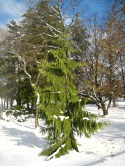 Кипарисовик нутканський Пендула зима