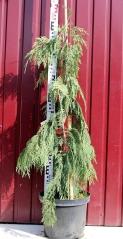 Кипарисовик нутканский Пендула (Pendula) вконтейнері 10л