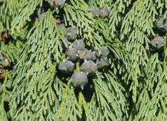 Кипарисовик нутканский Pendula шишки