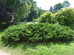 Можжевельник казацкий <br>Ялівець козацький <br>Juniperus sabina