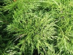 Juniperus sabina хвоя