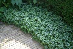 Пахізандра Green Carpet