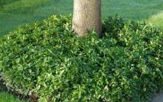 Pachysandra terminalis Green Carpet