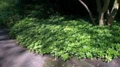 Пахізандра верхівкова Green Carpet