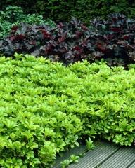 Pachysandra Green Carpet
