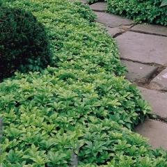 Пахизандра Green Carpet