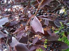 Вишня/Слива/Черёмуха виргинская Шуберт / Prunus virginiana Schubert