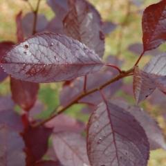 Черёмуха виргинская Шуберт листья