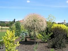 Salix integra Hakuro-Nishiki on shtambe
