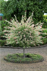 Salix Hakuro-Nishiki on shtambe