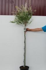 Ива цельнолистная Хакуро-Нишики шар на штамбе 120см