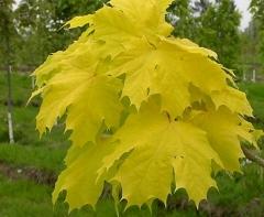 Acer Princeton Gold листья