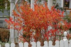 Голубика Блюкроп осенью