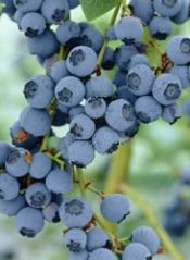 Голубика Блюкроп гроздь