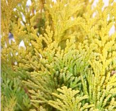 Chamaecyparis  Minima Aurea