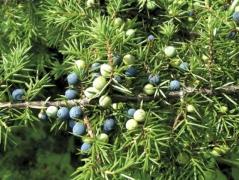 Можжевельник казацкий Blue Sparkle плоды